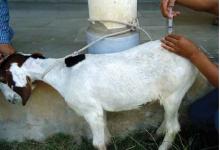 Photo of بیحسی ناحیهای در گوسفند و بز