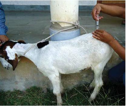 بیحسی ناحیه ای در گوسفند و بز