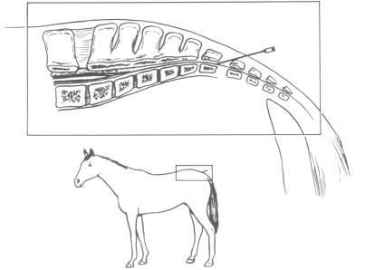 بیحسی ناحیه اپیدورال در اسب