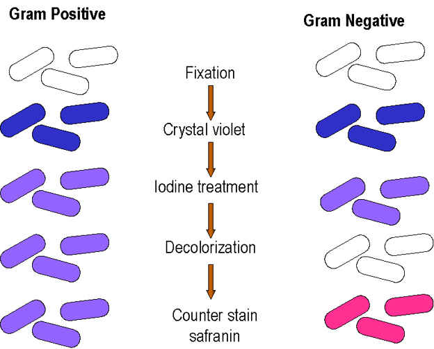 رنگ آمیزی گرم که در باکتریولوژی استفاده فوق العاده زیادی دارد.